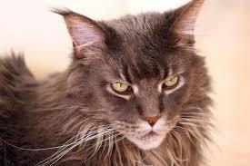 Названы самые популярные породы кошек в России