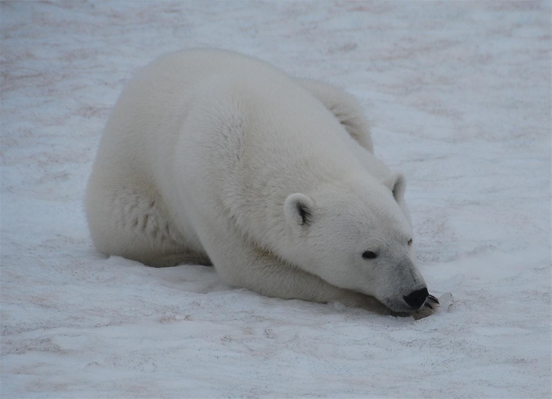 На Новой Земле ввели режим ЧС из-за белых медведей