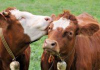 В Великобритании запустят сайт знакомств для коров