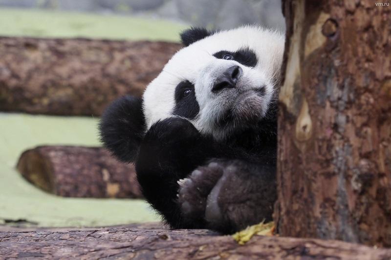 За стеклом: панды из Московского зоопарка живут в прямом эфире
