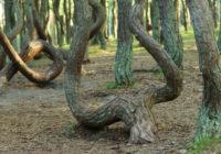 Российский «танцующий лес» спрячут от туристов