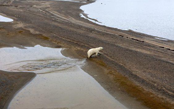 арктика белый медведь