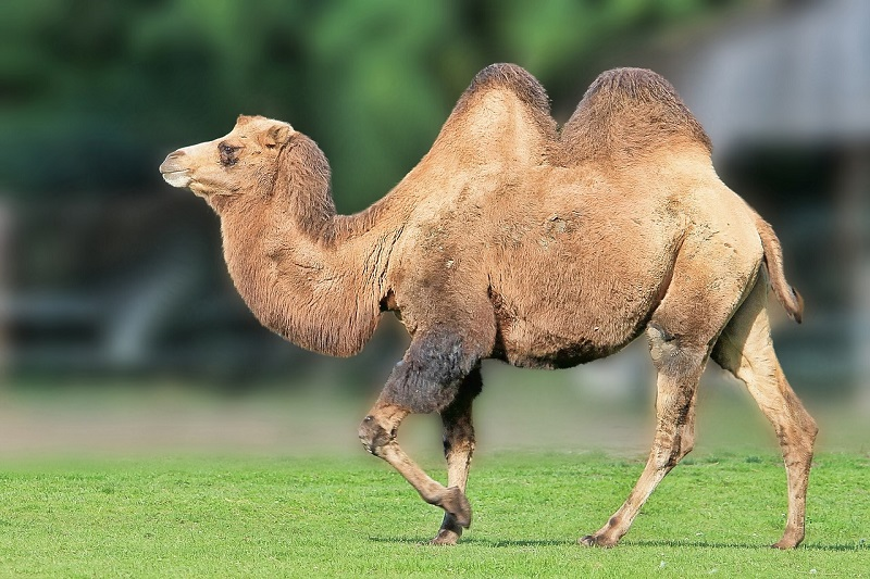 В Испании верблюд прошёлся по лицу туристки и сломал ей ребра