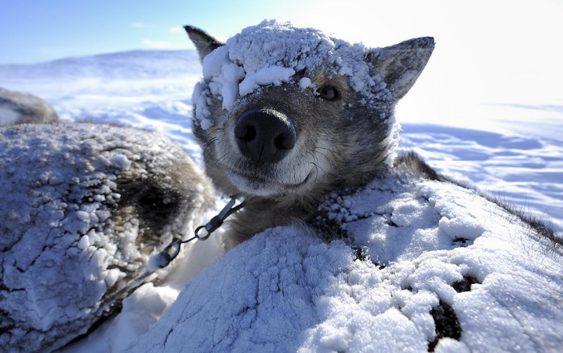 зима собаки