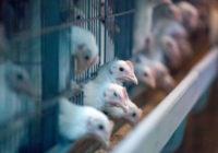 Названы опасные для здоровья куриные крылья