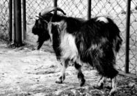 Умер знаменитый козел Тимур