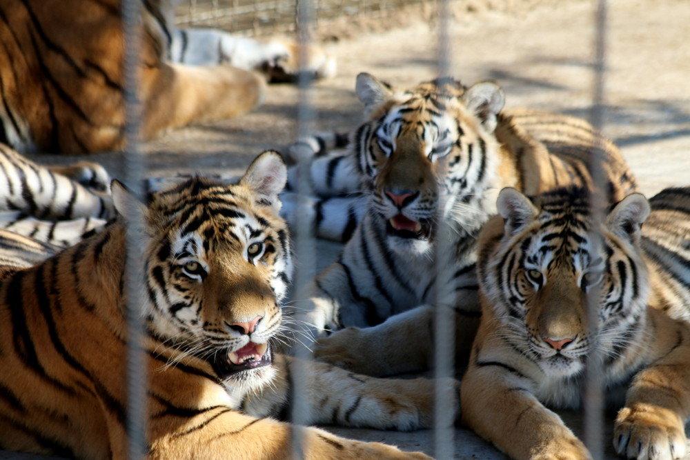 Тигр в Крыму откусил палец годовалому ребенку